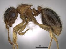 Así es la nueva especie de hormiga que lleva el nombre del delantero. EFE