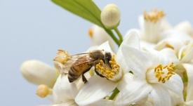 Sankt Pauli (D2) veut lancer sa production de miel