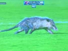 Un opossum, star de la 4ème journée du championnat mexicain. Capture