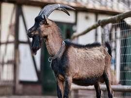 A cabra Hennes é o mascote do Colônia. Twitter/fckoeln