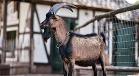 La cabra Hennes, nombrada mejor mascota del mundo. Twitter/FCkoeln