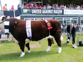 Hereford's bull, Ronaldo, has become a bit of a lucky charm for the British side. HerefordFC